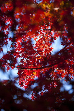 赤く色づくモミジの写真素材 [FYI00117633]