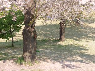 桜のパラソルの写真素材 [FYI00117690]