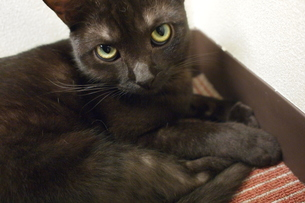 黒猫アップの写真素材 [FYI00117788]