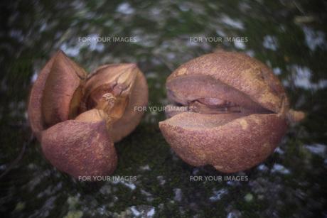 木の実、種_森?2の素材 [FYI00117863]