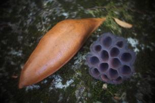 ドライシード_木の実と種の素材 [FYI00117872]