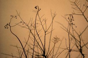 枯れた植物-2の素材 [FYI00117995]