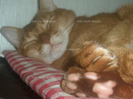 猫のツヤツヤな肉球の写真素材 [FYI00118129]
