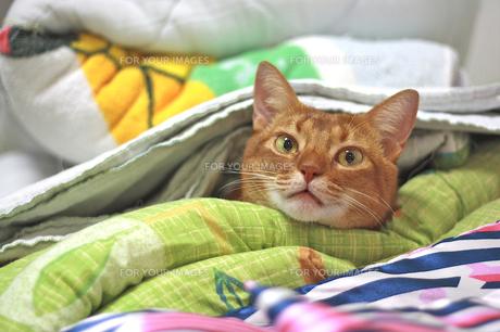 布団でぬくぬくの猫の写真素材 [FYI00118133]