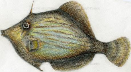 カワハギを色鉛筆で描くの写真素材 [FYI00119675]