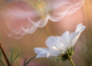 コスモスと白いヴェールの写真素材 [FYI00119692]