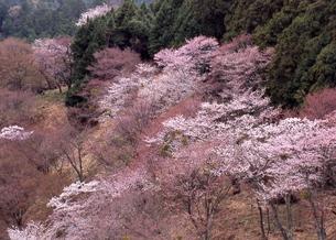 奈良吉野山の桜の素材 [FYI00119702]