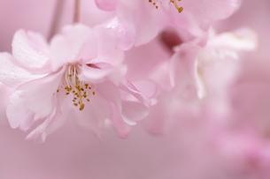 薄紅しだれ桜のファンタジーの写真素材 [FYI00119710]