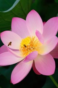 ミツバチと古代ハスの素材 [FYI00119743]