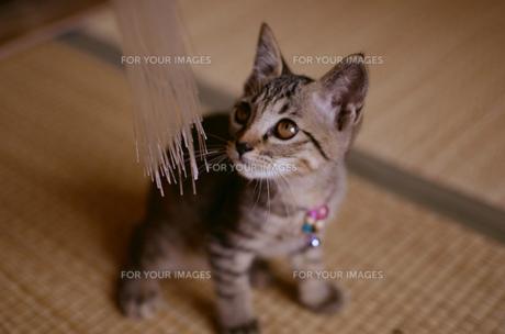 子猫の素材 [FYI00119795]
