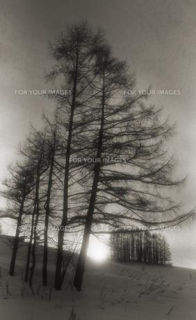 朝焼けの雪原と巨木の写真素材 [FYI00119810]