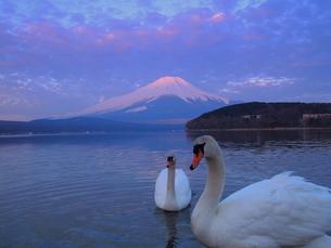 赤富士と白鳥の写真素材 [FYI00119861]