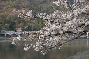 桜の写真素材 [FYI00119893]