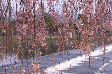 枝垂桜の写真素材 [FYI00119898]