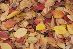 落ち葉の写真素材 [FYI00119900]