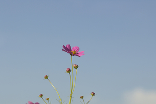 コスモスと青空の写真素材 [FYI00119911]