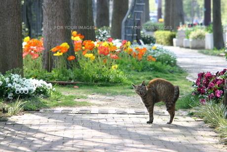 あくびする猫の写真素材 [FYI00119922]