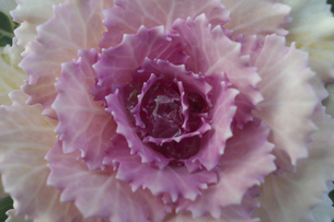 葉牡丹の写真素材 [FYI00119928]