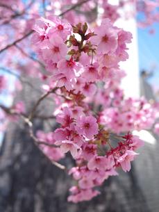 桜の花びらの写真素材 [FYI00119929]