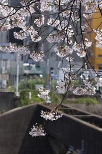 枝垂桜の写真素材 [FYI00119940]