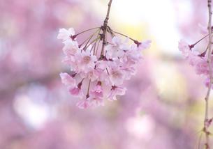 さくらの花びらの写真素材 [FYI00119951]