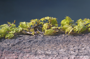 石壁の上のツタの写真素材 [FYI00119957]