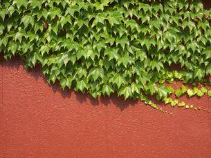 赤い壁とツタの写真素材 [FYI00119961]