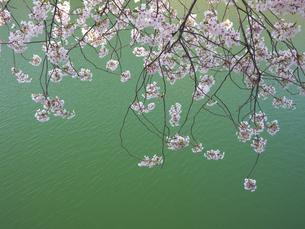 枝垂桜の写真素材 [FYI00119967]