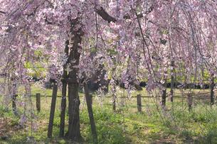 枝垂桜の写真素材 [FYI00119968]