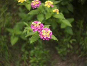 ランタナの花の写真素材 [FYI00119974]