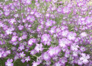 ムギナデシコの花の写真素材 [FYI00119976]