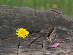 黄色い花と赤い葉の写真素材 [FYI00119980]
