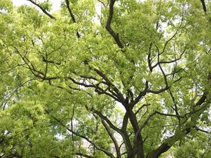 新緑の木の写真素材 [FYI00119991]
