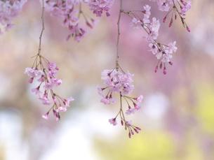 桜の花の写真素材 [FYI00119992]