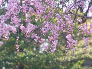 ピンクの枝垂桜の写真素材 [FYI00119994]