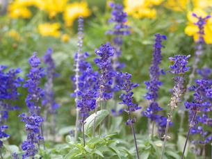 紫色のサルビアの写真素材 [FYI00119995]
