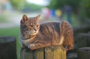 遠方を見つめる猫の写真素材 [FYI00120007]