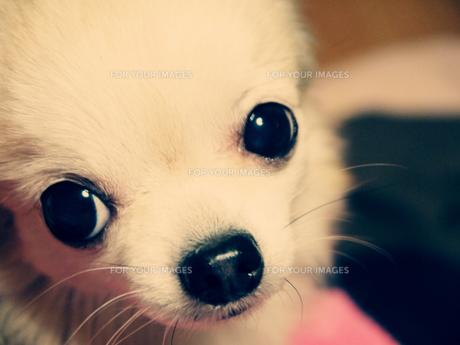 可愛い瞳で、見つめるチワワの写真素材 [FYI00120045]