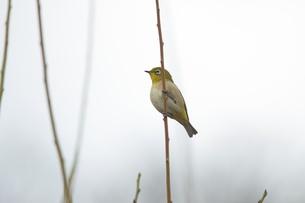 梅の枝に止まるメジロの写真素材 [FYI00120114]