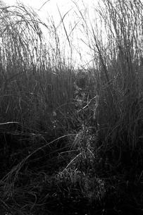 葦の群生の写真素材 [FYI00120288]