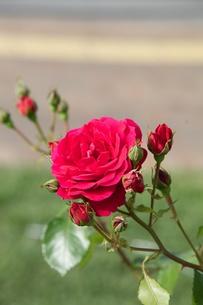 赤い薔薇の写真素材 [FYI00120402]