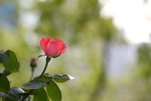 赤い薔薇の写真素材 [FYI00120403]