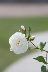 白い薔薇の写真素材 [FYI00120416]