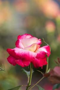 紅い薔薇の写真素材 [FYI00120417]