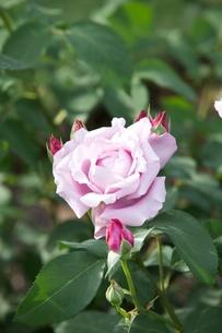 紫の薔薇の写真素材 [FYI00120423]
