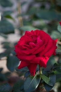 紅い薔薇の写真素材 [FYI00120440]