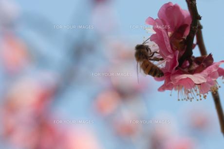花とミツバチの素材 [FYI00120652]