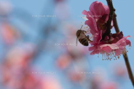 花とミツバチ2の素材 [FYI00120676]