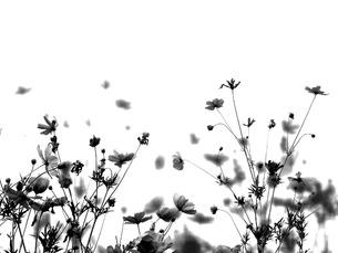 秋桜シルエットの素材 [FYI00120702]