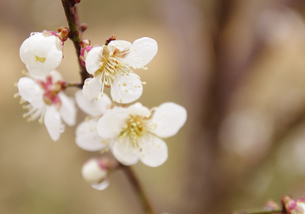梅に春雨の写真素材 [FYI00120715]